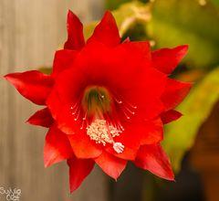 Blüte eines Blattkaktus