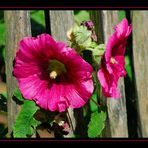 Blüte eines Sommers