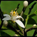 - Blüte eines Zitronenbaumes -