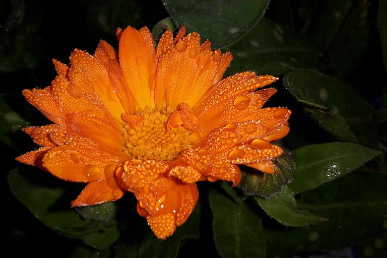 Blüte im Morgentau