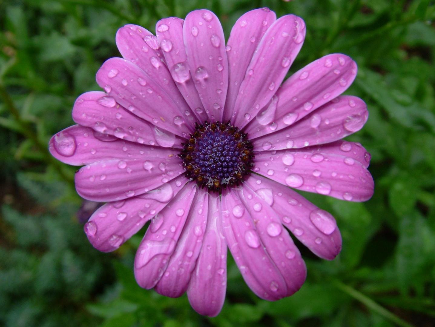 ...Blüte im Regen