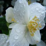 Blüte im Regen