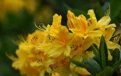 Blüte im Rhododendronpark