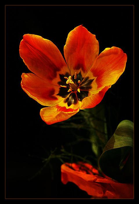 Blüte in Flammen