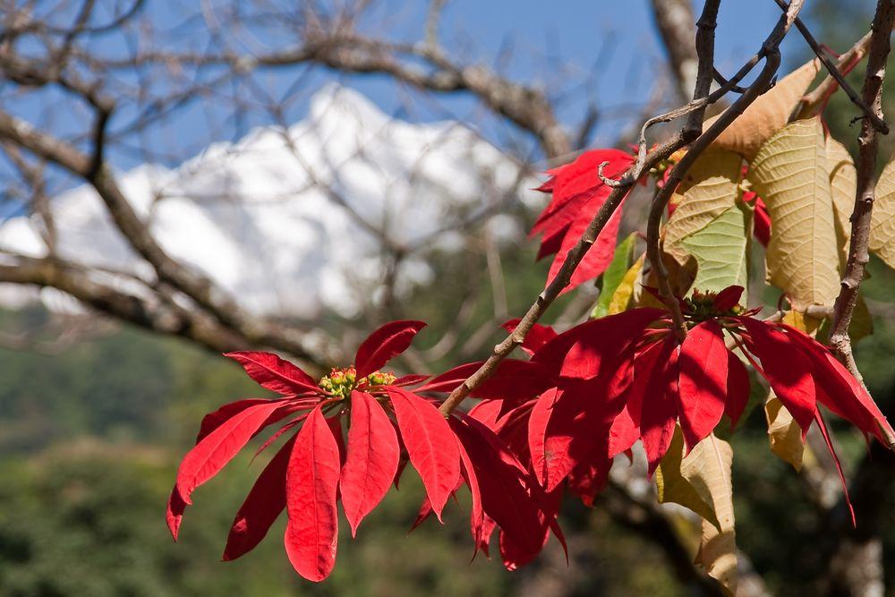 Blüte in Nepal