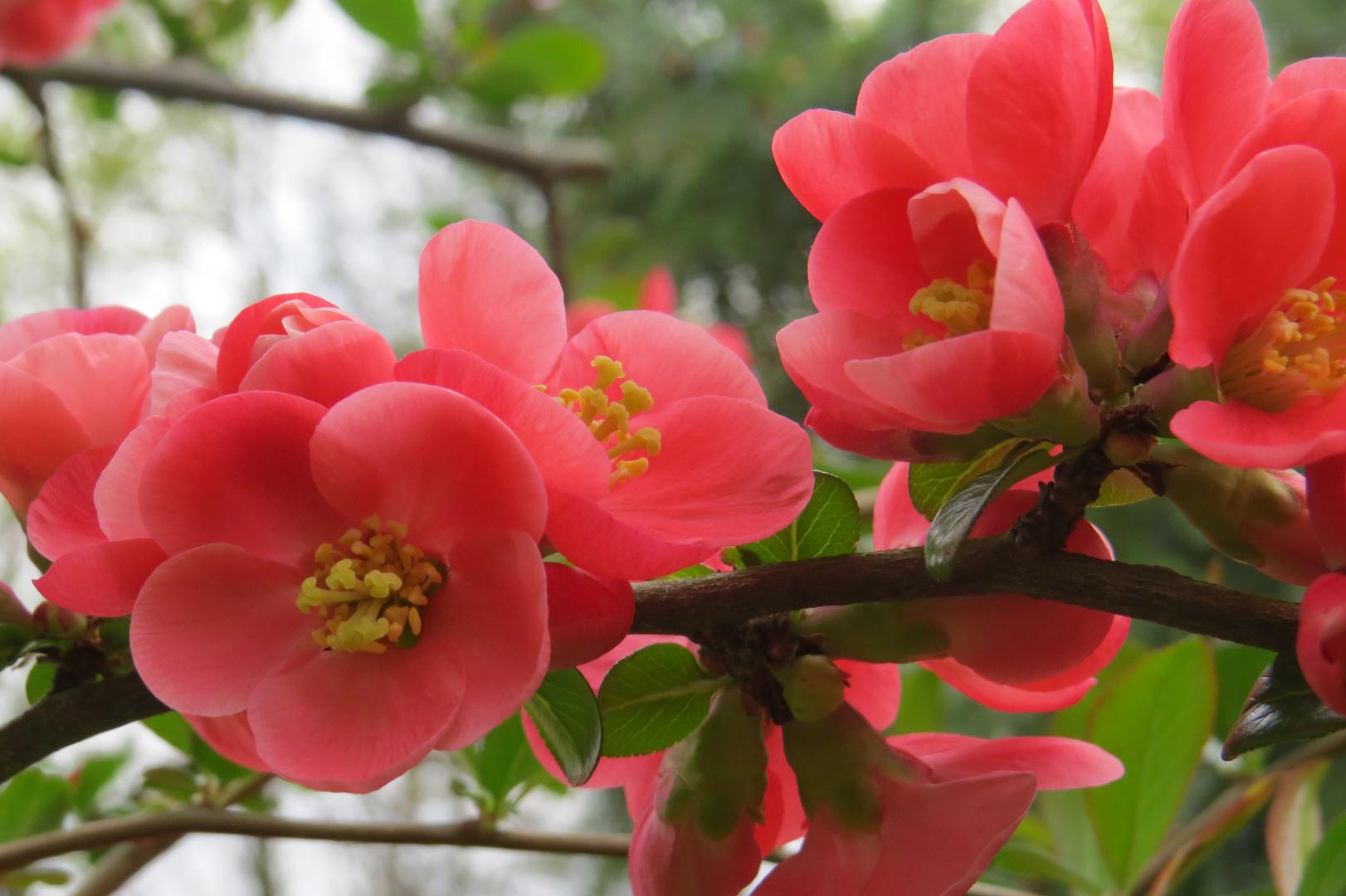 Blüte in rosé
