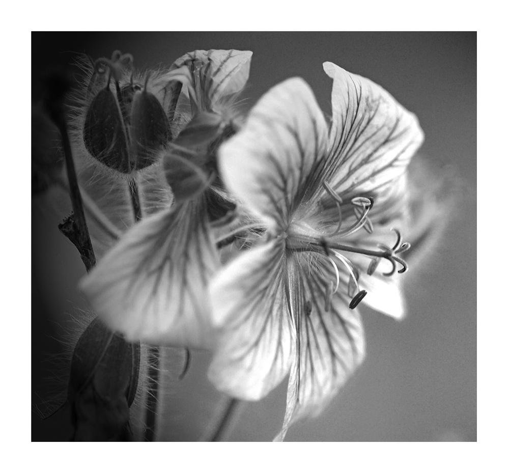 Blüte in s/w
