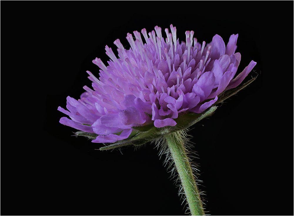 Blüte in violett