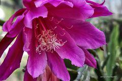 Blüte in voller Pracht