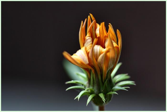 Blüte ist schon verwelkt, doch sie verzaubert trotzdem noch!