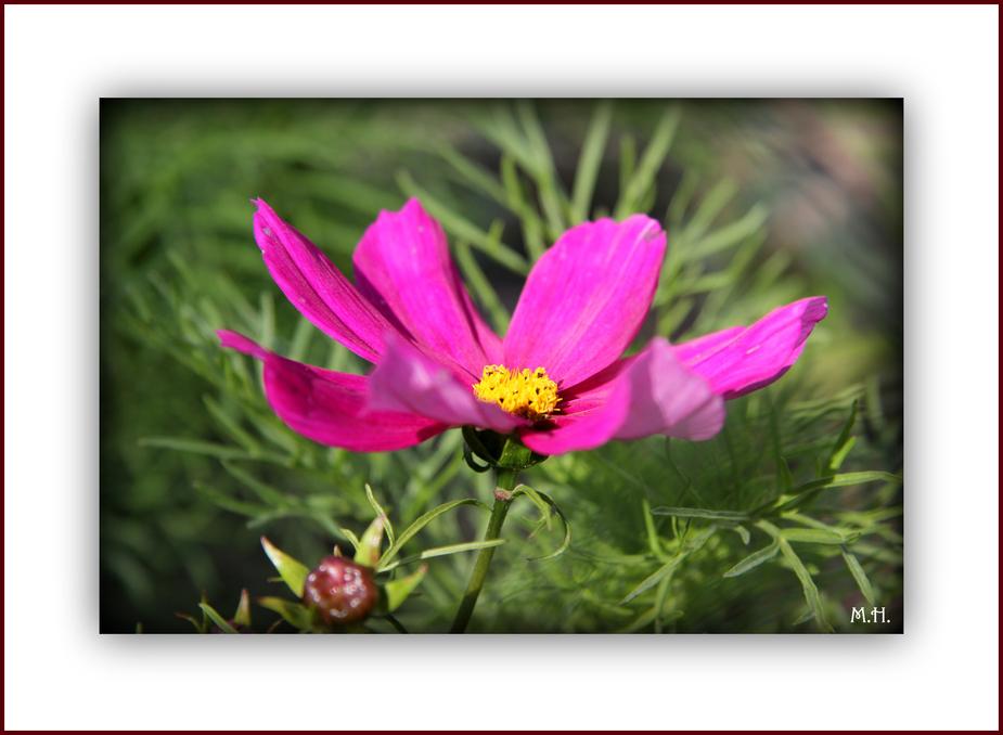 Blüte ( Kosmee)