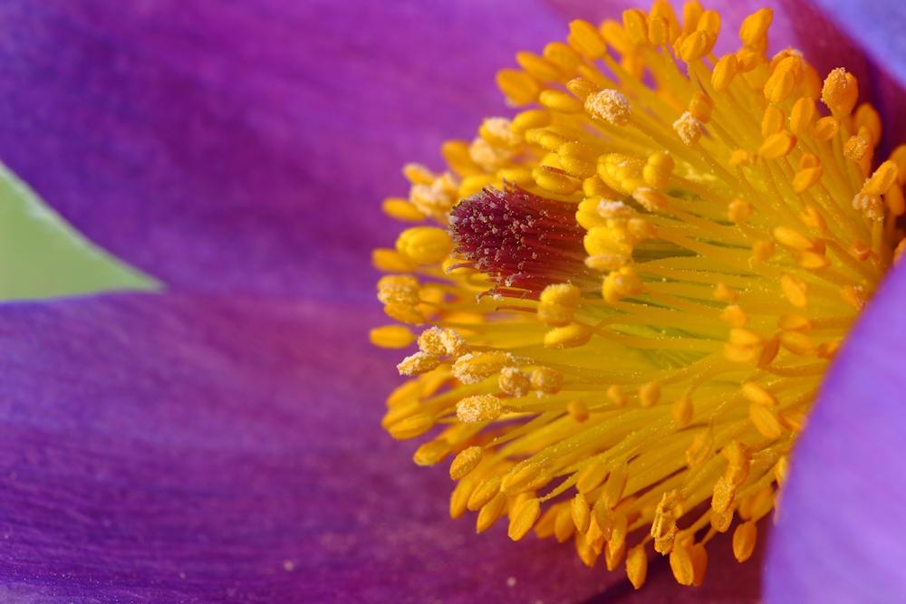 Blüte Kuhschelle