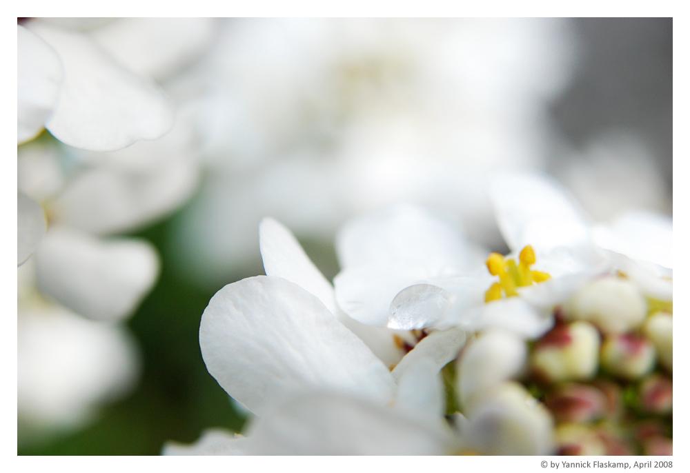 Blüte Makro I