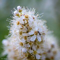 Blüte mit Ameisenbesuch