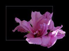 Blüte mit Besucher # Flor con visitante