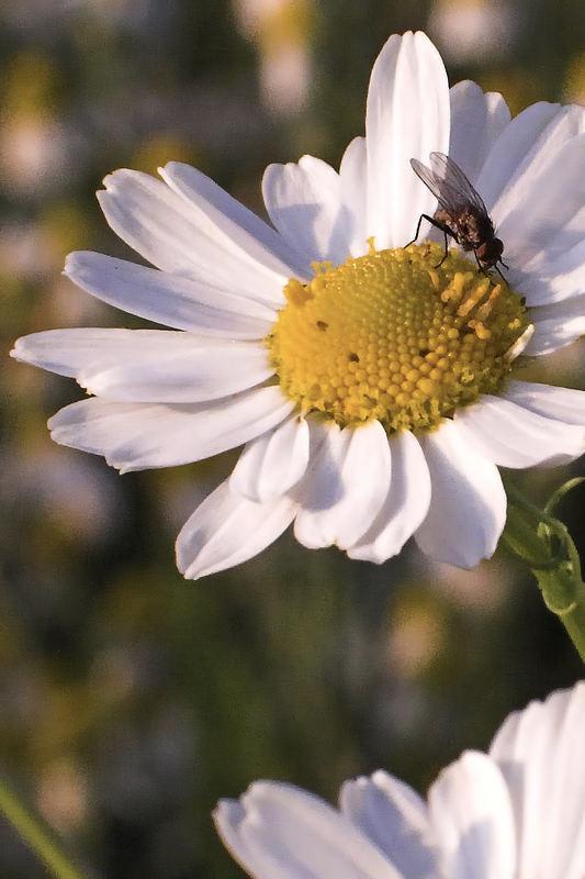 Blüte mit Fliege