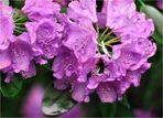 Blüte mit Hummel 2