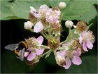Blüte mit Hummel und Fliege