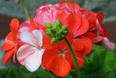 Blüte mit Knospen