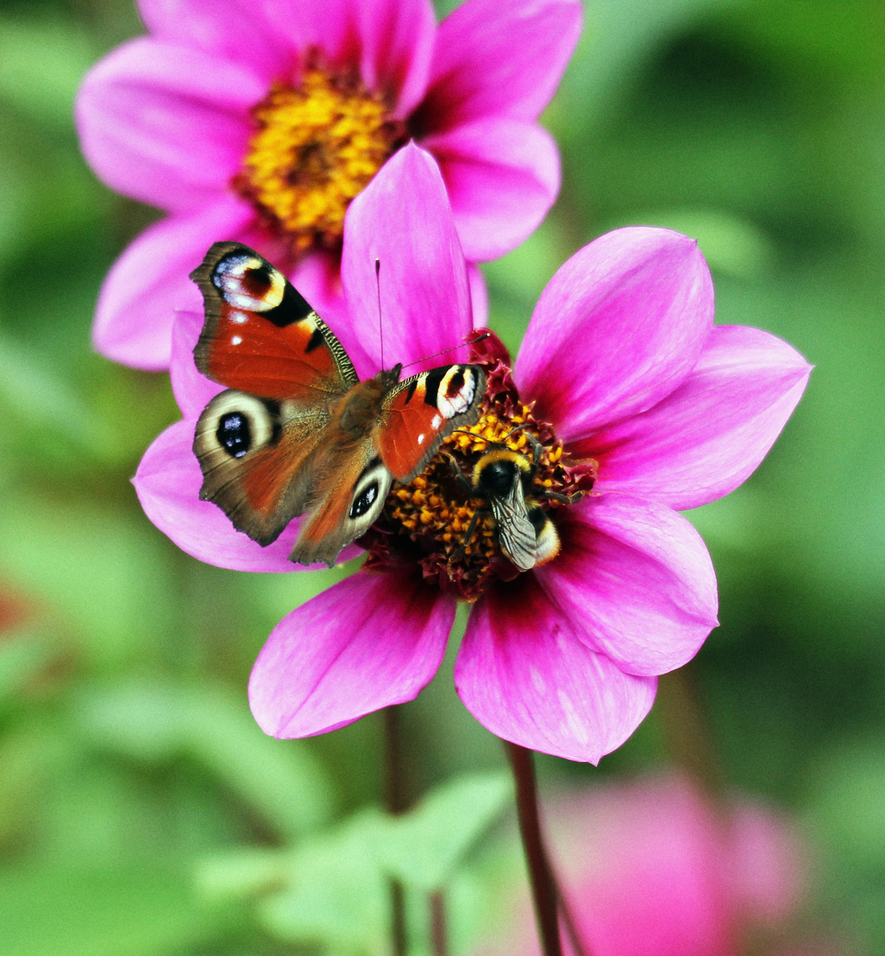 Blüte mit Pfauenauge und Hummel