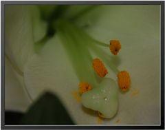 Blüte mit Staubfaden und Pollen