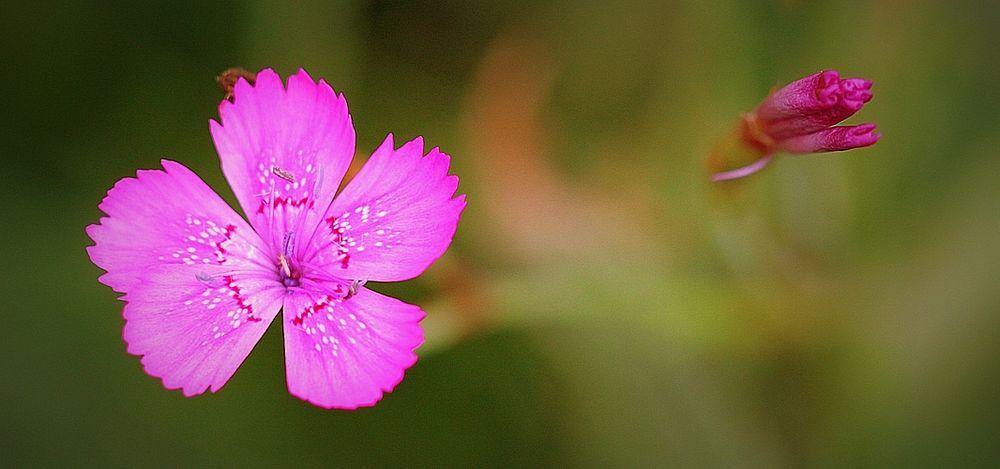 Blüte und Knospe