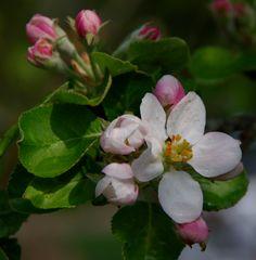 Blüte und Knospe- früher Apfel