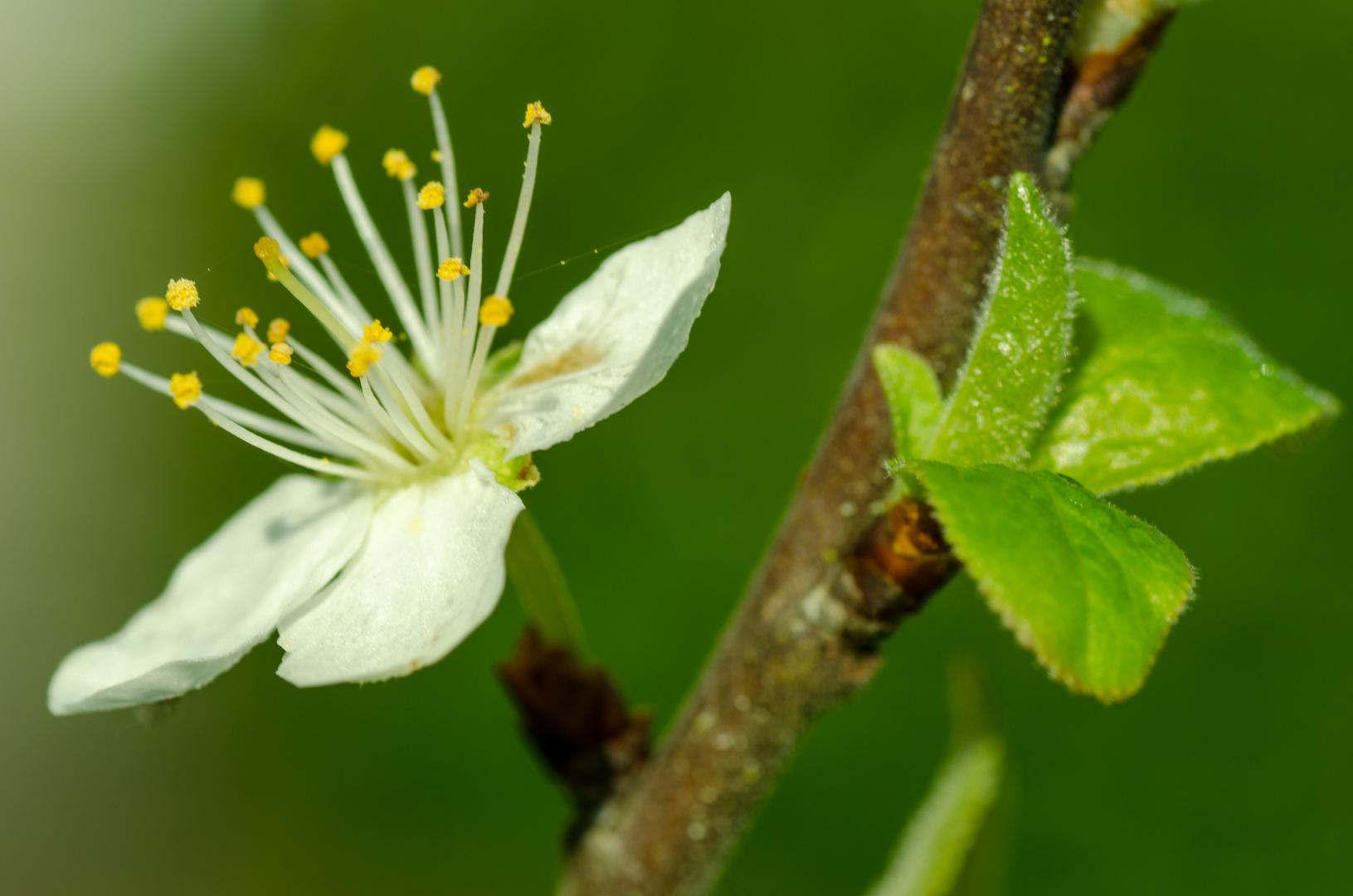 Blüte vom Birnbaum