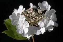 Blüte vom Gewöhnliche Schneeball (Viburnum opulus)