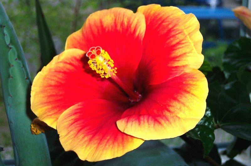 Blüte vom Hibiskus