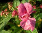 Blüte vom indischen Springkraut