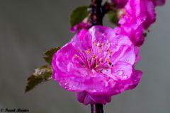 Blüte vom Mandelstrauch