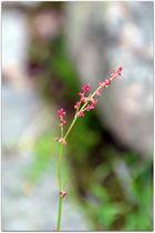 Blüte vom Sauerampfer
