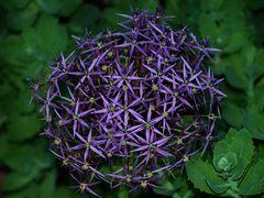 Blüte vom Sternkugellauch (geändert)