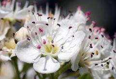 Blüte vom Weißdorne (Crataegus)