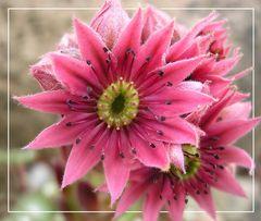 Blüte von der Hauswurz