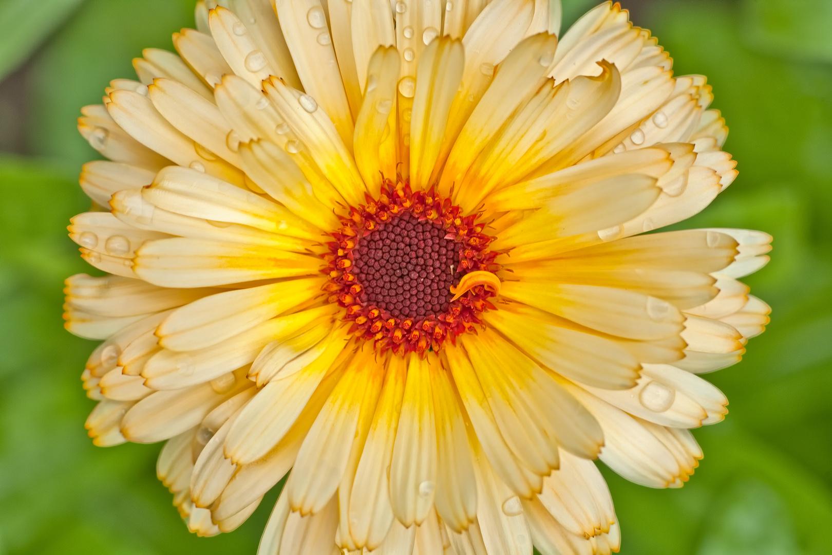 Blüte von oben