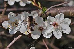 Blüte von Prunus cerasifera