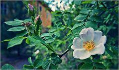Blüte zum Sonntag