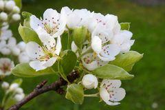 Blüten am Birnbaum