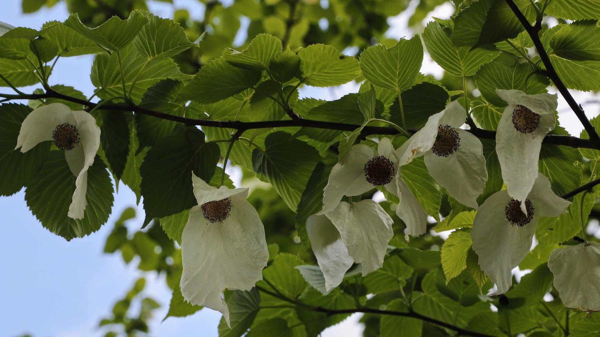 Blüten Am Taschentuchbaum (2019_05_03_EOS 6D Mark II_2186