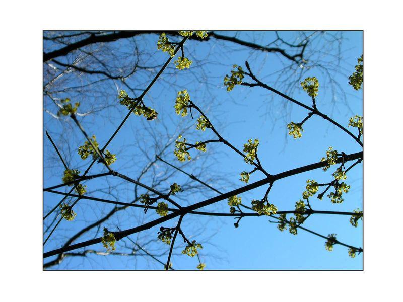 Blüten der cornus mas