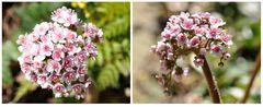 Blüten der Kennichnich Pflanze