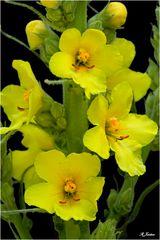 Blüten der Königskerze