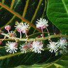Blüten der Kroton