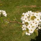 Blüten der Nashi-Birnen