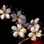 Blüten der Schlehe.
