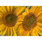 Blüten der Sonnenblume