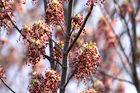Blüten des Esche -Ahorns