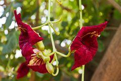 Blüten des Leberwurstbaums (Kigelia africana)